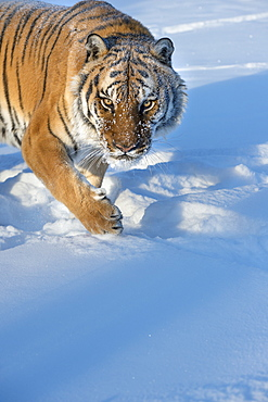 Siberian Tiger (Panthera tigris altaica), Montana, United States of America, North America