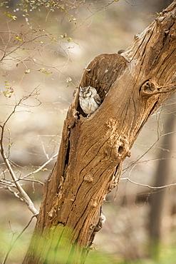 Scops owl (Otus) (Strigidae), Ranthambhore, Rajasthan, India, Asia