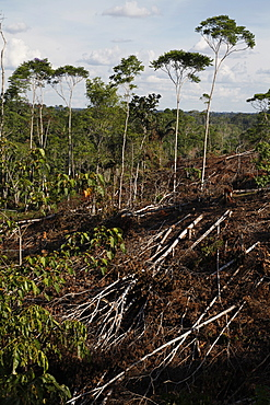 Deforestation for cattle grazing and timber logging at the Yasuni National Park. Amazon, Ecuador, South America