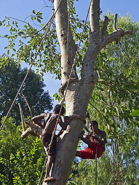 Logging hardwood for export in Shan State, Myanmar (Burma), Asia