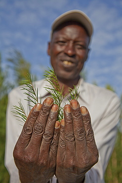 Farmers harvest and process tea tree oil for sale for export as a health and beauty product, Kenya, East Africa, Africa