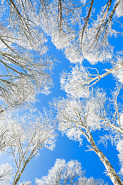 Snow covered beech tree tops against blue sky viewed from the ground, Neuenburg, Switzerland, Europe - 1189-107