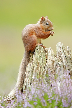 Eurasian Red Squirrel (Sciurus vulgaris), Scotland, United Kingdom, Europe