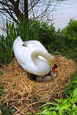 Mute Swan, Hoeckerschwan, Cygnus olor, breeding, Switzerland