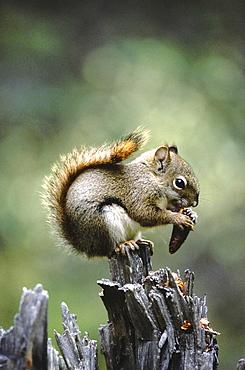 Red squirrel, tamiasciurus hudsonicus. Sitting on a treetrunk eating fircones. North america