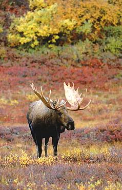 Moose, alces alces. Male bull standing in tundra in autumn. North america