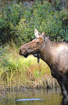 Moose, alces alces. Female standing in pond, eating grass. North america