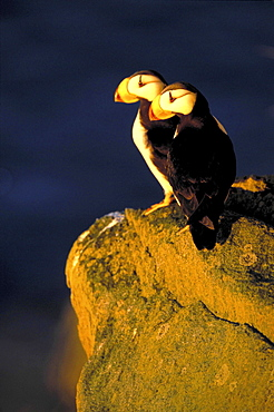 Horned puffin, fratercula corniculata. Couple standing on rock