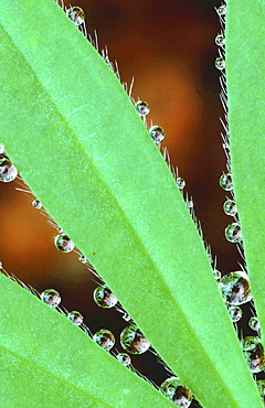 Close-up of a leaf. Lupine leaf with raindrops