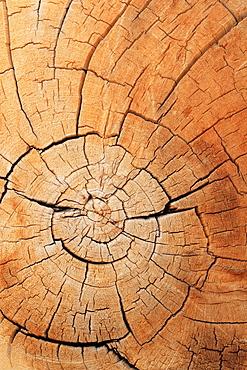 Ancient britlecone pine, pinus longaeva, ancient britlecone pine forest, white mountains, california