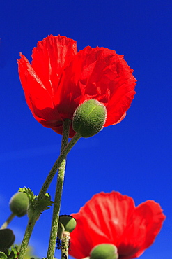 Red poppy /corn poppy, papaver rhoeas, spring, oetwil am see, switzerland.