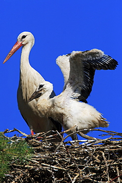 White stork, stork, ciconia ciconia, weissstorch, storch, mother and young standing in nest, spring, oetwil am see, zuerich, switzerland
