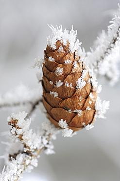Larch tree cone, larix decidua mill, laerchenzapfen, covered in hoarfrost, switzerland