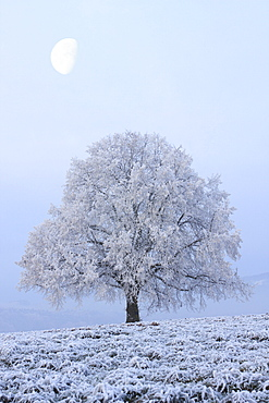 Lime tree, lime, tilia cordata mill., in winter covered in hoarfrost, at dusk, oetwil am see, switzerland