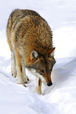 European wolf, canis lupus lupus, adult, in winter, national park bayrischer wald, germany, captiv