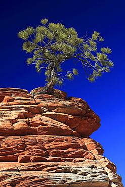Ponderosa pine, pinus ponderosa, gelb-kiefer, gold-kiefer, ponderosa-kiefer, tree growing on sandstone, zion national park, utah, usa,