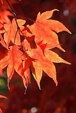 Faecher-Ahorn, Japanischer Ahorn, Acer palmatum, Zuercher Oberland, Zuerich, Schweiz