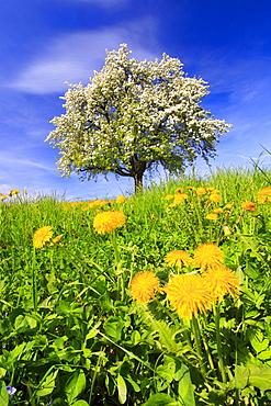 Bluehender Apfelbaum im Fruehling, Schweiz