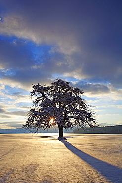Apfelbaum, Malus, f., Apple tree, im Winter, Schweiz