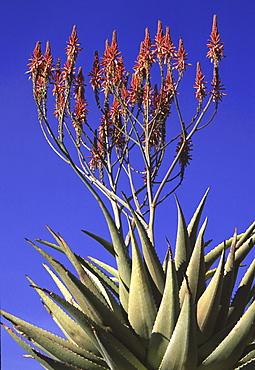 Mountain aloe in flower. Aloe litoralis. Namibia