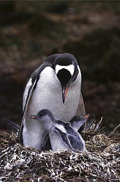 Gentoo penguin. Pygoscelis papua. Royal bay, south georgia, antarctica