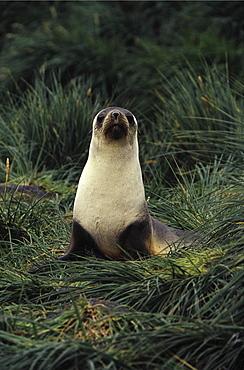 Antarctic fur seal. Arctocephalus gazella. In tussock grass, south georgia