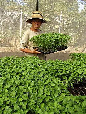 El salvador man tending pepper plant seedlings in a nursery at san francisco javier