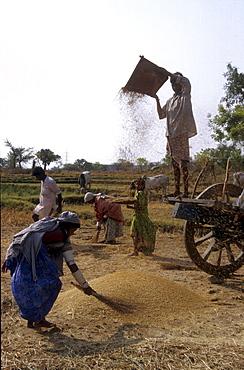 India - farming: winnowing rice, andhra pradesh
