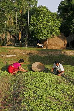 Bangladesh alpona ritchil and husband farid pathang of the garo tribal minority weeding their vegetable garden, haluaghat, mymensingh region