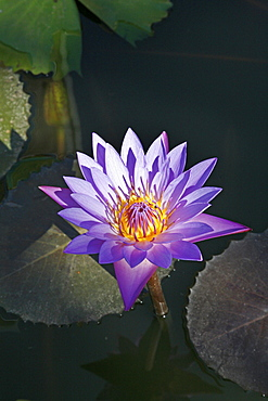 Myanmar lotus flower