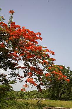 Jamaica. Flame tree, montego bay