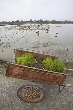 Vietnam planting rice in ninh binh province