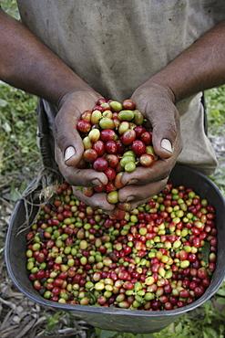 Venezuela man harvesting coffee beans, buenavista, lara
