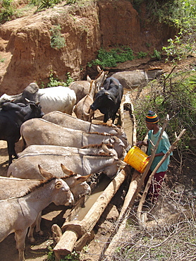 Tanzanian giving water to donkeys and cattle from a water hole at kansay, near ngorongoro