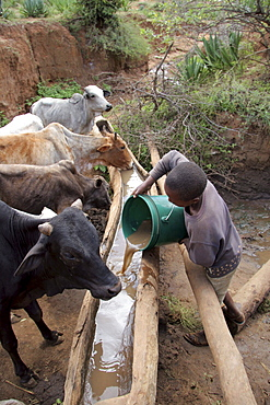 Tanzanian giving (muddy) water to cattle to drink in kansay