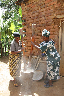 Tanzanian women pounding cassava and dried banana in a wooden mortar and pestle in the traditional way. Kighare, same, in the north-east near kilimanjaro
