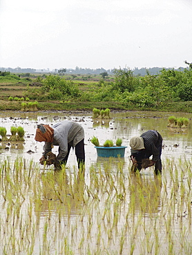 Cambodia transplanting rice in kampong thom