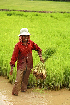Cambodia farmers getting rice seedlings ready for transplanting, kampong thom