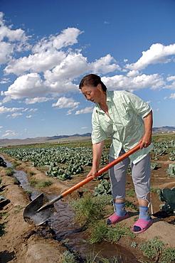Mongolia growing vegetables using irrigation on a farm near ulaan baatar