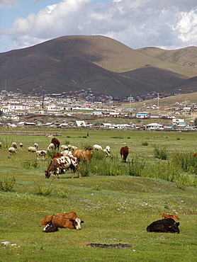 Mongolia cows grazing new suburb on the edge of ulaan baatar