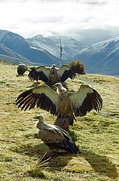 Vultures, drigung. bodies what we most attached to, says of monks. Thats offering ones body carries greatest merit. believe that should benefit other beings at every stage of ones life. After completion of powa ceremony, corpse is traditionally offered to great vultures lammergeiers that frequent charnel grounds. Vultures descend on flayed corpse. Offering bodies to birds is same as reciting mantras. It brings merit benefit to dead person as well as to family friends bring here. While cutting up corpse i to keep a pure compassionate mind. would feel if someone felt cutting up your body. -tomdenla. Tibet