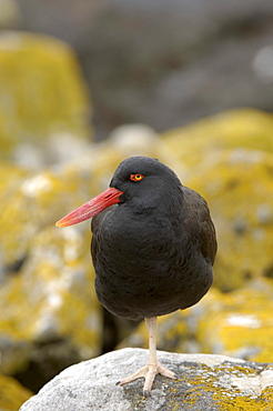 Oystercatcher (haematopus ater) new island, falkland islands, standing on rock on one leg.