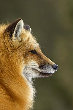 Portrait of american red fox (vulpes vulpes fulva), montana, usa