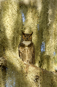 Great horned owl (bubo virginianus) florida, usa, perched.