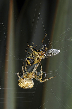 Garden orb spider (araneus diadematus) in its web, with captured fly, wrapping it up in silk from its spinnerettes, oxfordshire, uk