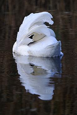 Mute swan (cygnus olor) adult preening on water, oxfordshire, uk