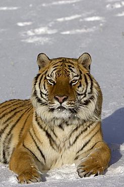 Siberian tiger (panthera tigris altaica) sat in snow, captive