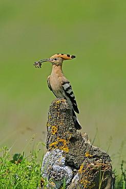 European Hoopoe (Upupa epops) perched on tree stump with food in beak, Bulgaria