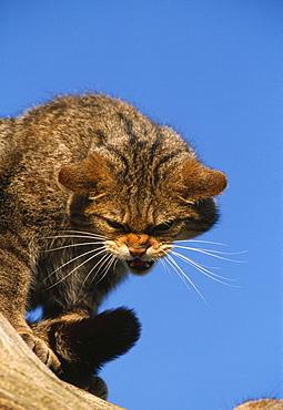 Scottish wildcat (felis sylvestris) , captive, uk.