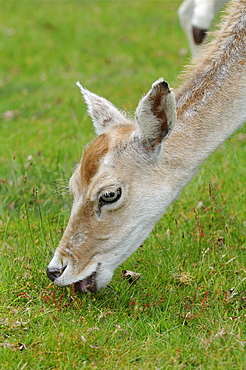 Fallow deer (dama dama) close-up of head, feeding on grassland, kent uk